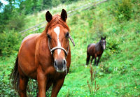 chestnut horses on grazing