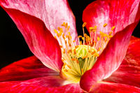 Blossom of a red poppy flower