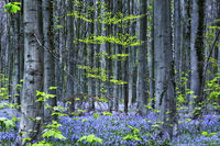 bluebells in beach woodland, Hallerbos, Belgium