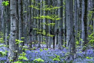 Hasengloeckchen im Hallerbos-Wald, Halle, Brabant, Belgien