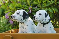 Two Dalmatian puppies, five weeks old side by side