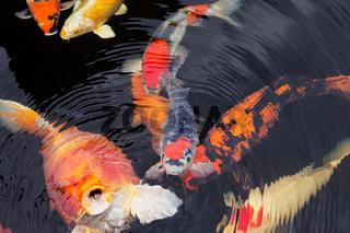 Kois im Teich