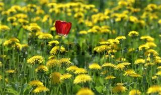 Flower of a tulip among dandelions on  field
