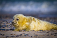 Young Grey seal (Halichoerus grypus)