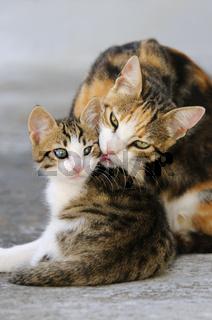 Katzenmutter putzt zaertlich ihr Katzenkind