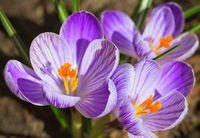 spring crocus