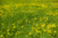 Background flower meadow