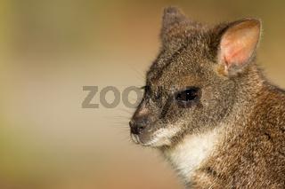 Close-up of a parma wallaby