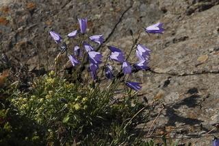 Harebell (Campanula rotundifolia). East Fjords