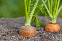 Carrots growing out of soil