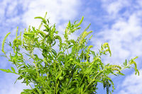 Ragweed plant