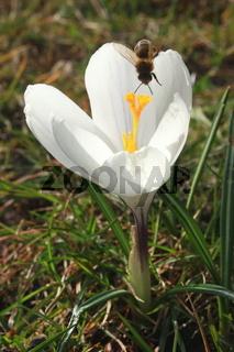 Krokus, Biene kopfüber