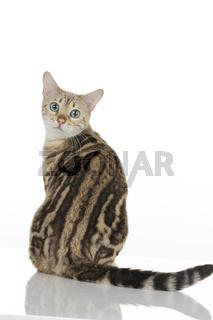 Bengalkatze von hinten