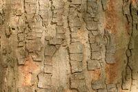 Sycamore maple bark
