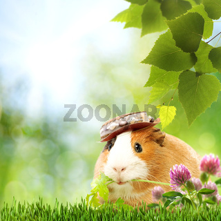 Abstract natural backgrounds with funny guinea pig
