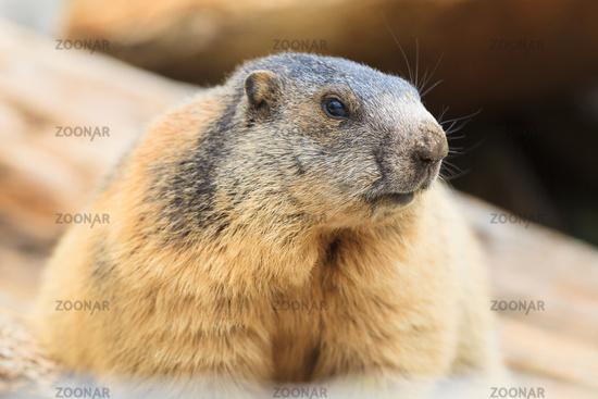 marmot [Marmota]