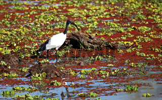 Heiliger Ibis, South Luangwa Nationalpark, Sambia; African Sacred Ibis, South Luangwa National Park, Zambia; Threskiornis aethiopicus