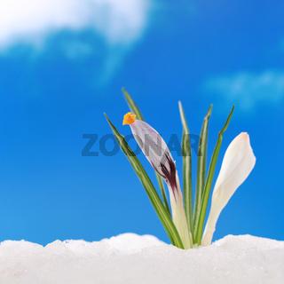 Konzept Frühling Krokus im Schnee