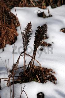 Matteuccia struthiopteris, Straussfarn, Sporenwedel, mit Schnee