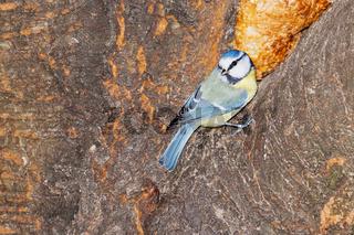 Blaumeise auf einem Baum