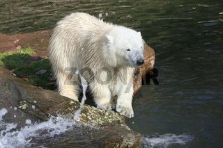 Eisbär 016