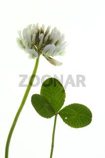 Trifolium repens, Weißklee, White Clover