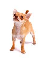 Chihuahua Welpe hoch schauend