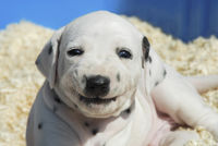 Dalmatian puppy is all smiles, four weeks old