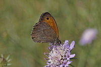 Maniola jurtina, Meadow Brown butterfly (male)