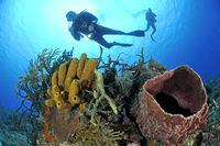 Caribbian coralreef, Giant caribbean tube sponge
