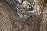African Wildcat in resting tree
