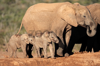 African elephant with calves