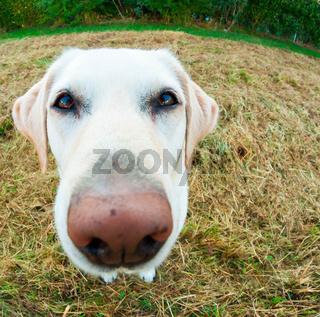 Labrador Nase