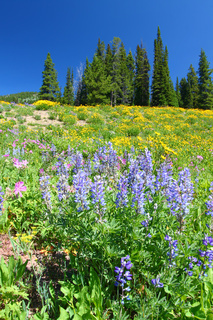 Yellowstone National Park Wildflowers