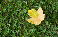 Yello leaf on green grass