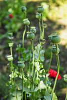 Poppy plants in garden