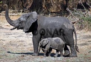 Elefanten im Lower Zambezi Nationalpark, Sambia; Loxodonta africana; elephants at Lower Zambezi National Park, Zambia