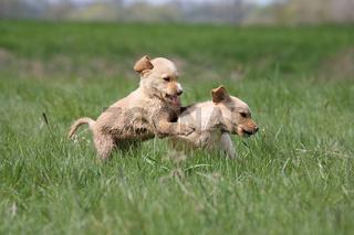 Labradorwelpen beim spielen