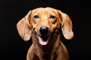 portrait of cheerful brown dachshund dog isolated on black background