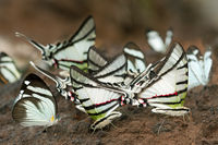 Mud-puddling tropical butterflies Gaucolaus Kite
