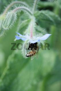 Biene in Borretschblüte eingetaucht