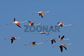 Schwarm Rosa Flamingos (Phoenicopterus roseus)  im Flug