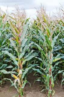 Feld mit Mais
