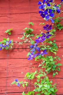 Violette Clematis vor Wand eines Holzhauses