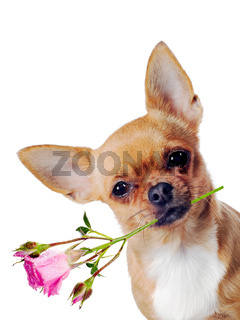 Chihuahua dog with rose isolated on white background