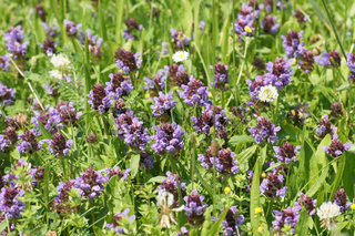 Prunella vulgaris, Braunelle, Selfseal