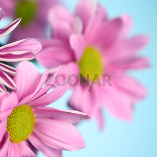 pink chrysanthemum macro close up