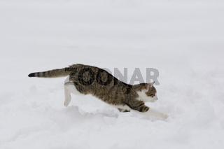 Katze rennend im Schnee, Cat running in snow