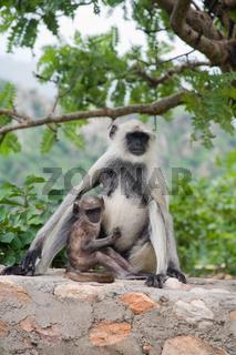 Dussumier-Hanuman-Languren