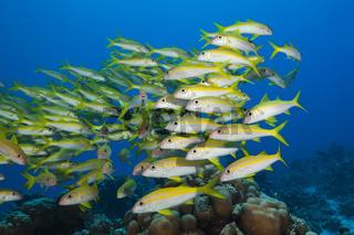 Schwarm Gelbflossen-Meerbarben, Aegypten